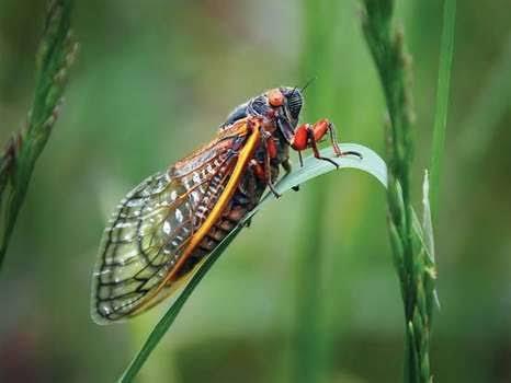 ما هي حشرة السيكادا