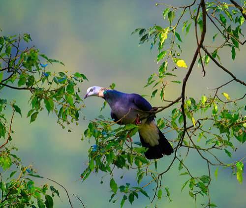 Indian birds - Image of Ashy wood pigeon - Columba pulchricollis