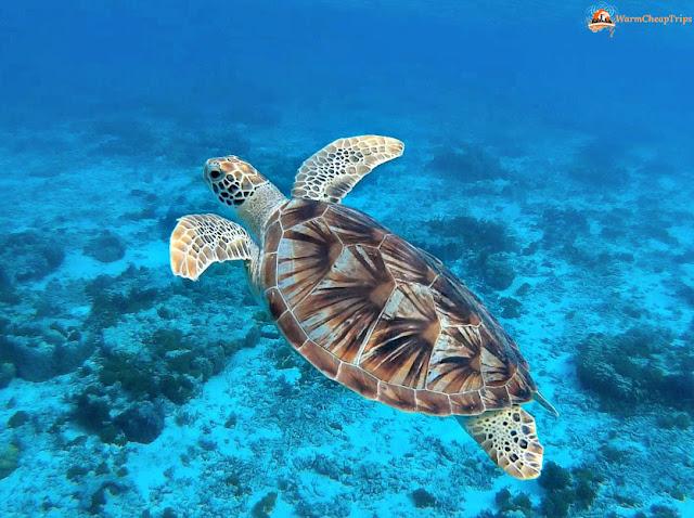 Zamami, tartarughe marine, nuotare con le tartarughe, okinawa, mare zamami, isole kerama