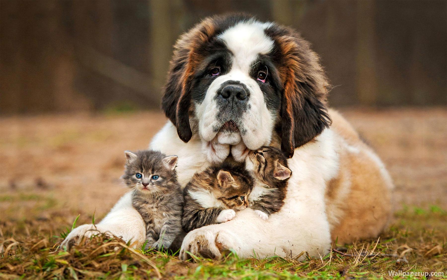 St. Bernard dog breed information