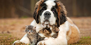 St. Bernards Dog Breed Information