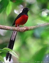 Foto Burung Murai Batu Daftar Harga Terbaru