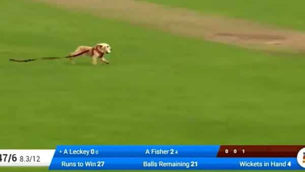 Dog steals ball during cricket match in Ireland