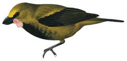 Eulacestoma nigropectus