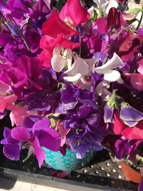 pink and purple sweet peas