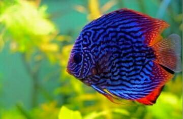10 Ikan Hias Kecil Tercantik Untuk Koleksi Aquarium Air Tawar Jejaksemut