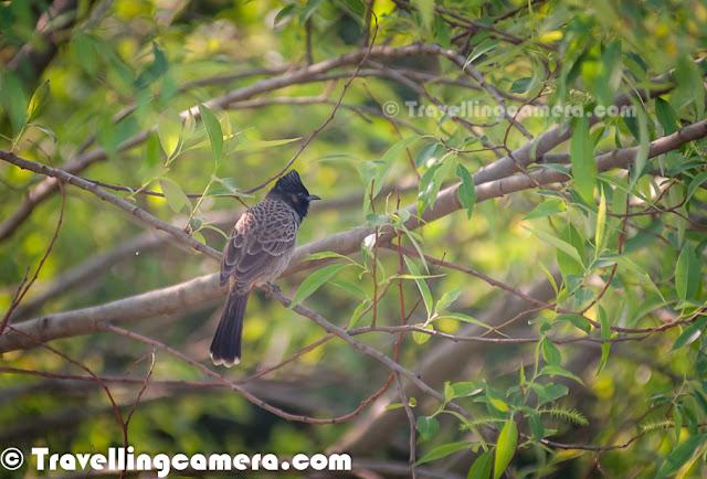 Bird of the month, Himalayan Bulbul, bulbul, Red-Vented Bulbul, passerine birds, Birding, Bird Photography, Nature