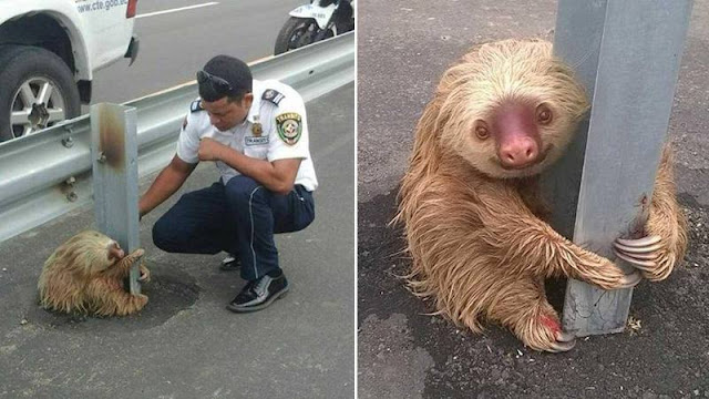 terrified sloth middle of a highway cling to a pole