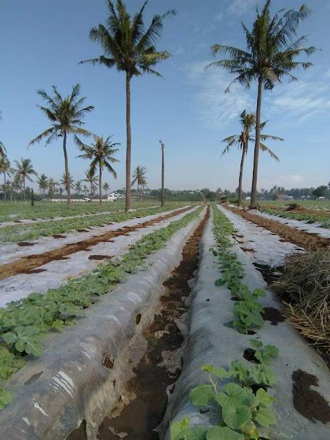 Bedengan tamaman semangka