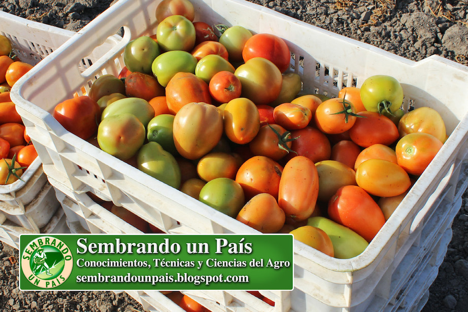 tomates en huacal