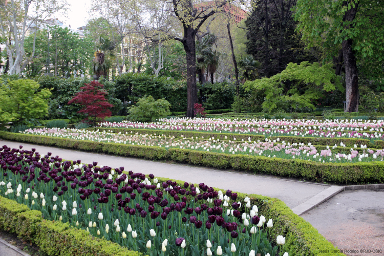 Tulipanes en el real jard n bot nico de madrid for Jardin botanico madrid metro