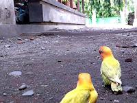 Cara Menangkap Burung Lovebird Yang Lepas Dan Terbang