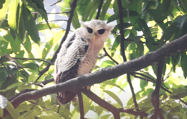 Beluk Jampuk Barred Eagle Owl