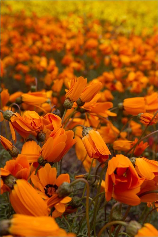 Namaqualand – South Africa's Daisy Sensation
