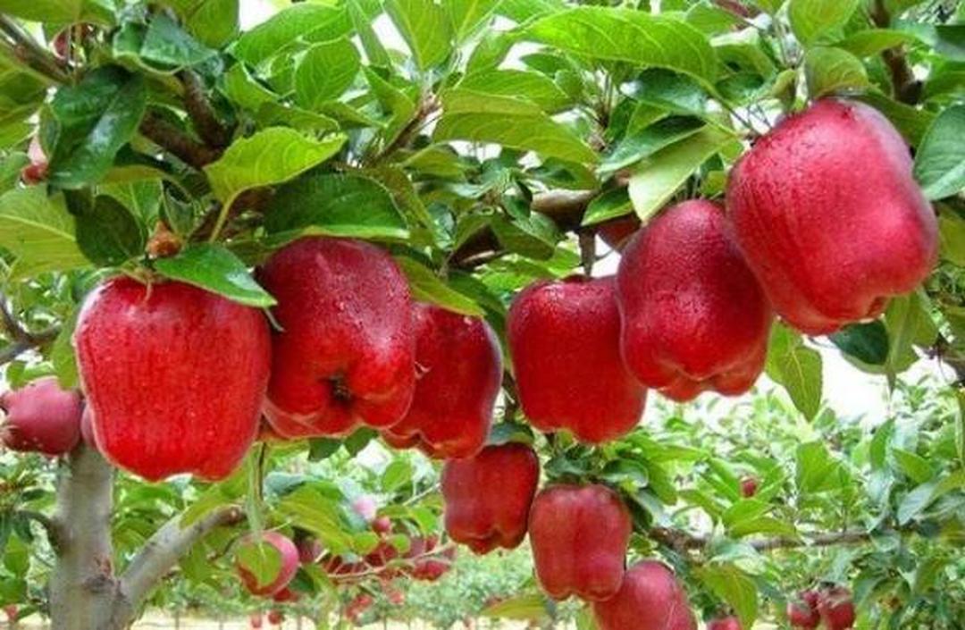 Murah Meriah! Bibit tanan pohon buah APEL RED CAROLINE aple merah unggul manis cepat berbuah okulasi cangkok Kota Jakarta #bibit buah buahan