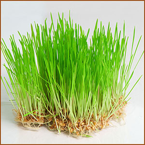 Wheatgrass, Health benefits, Ayurvedic properties, Components, Wheatgrass powder, Substances
