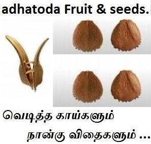adhatoda fruit seeds