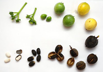 مراحل تكون ثمار و بذور نبات الجاتروفا