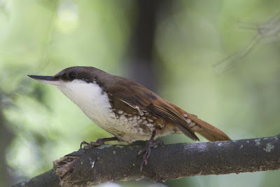 White throated Treerunner