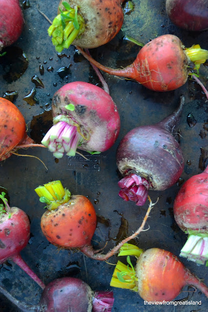 Roasting colorful beets for Grapefruit and Roasted Beet Salad