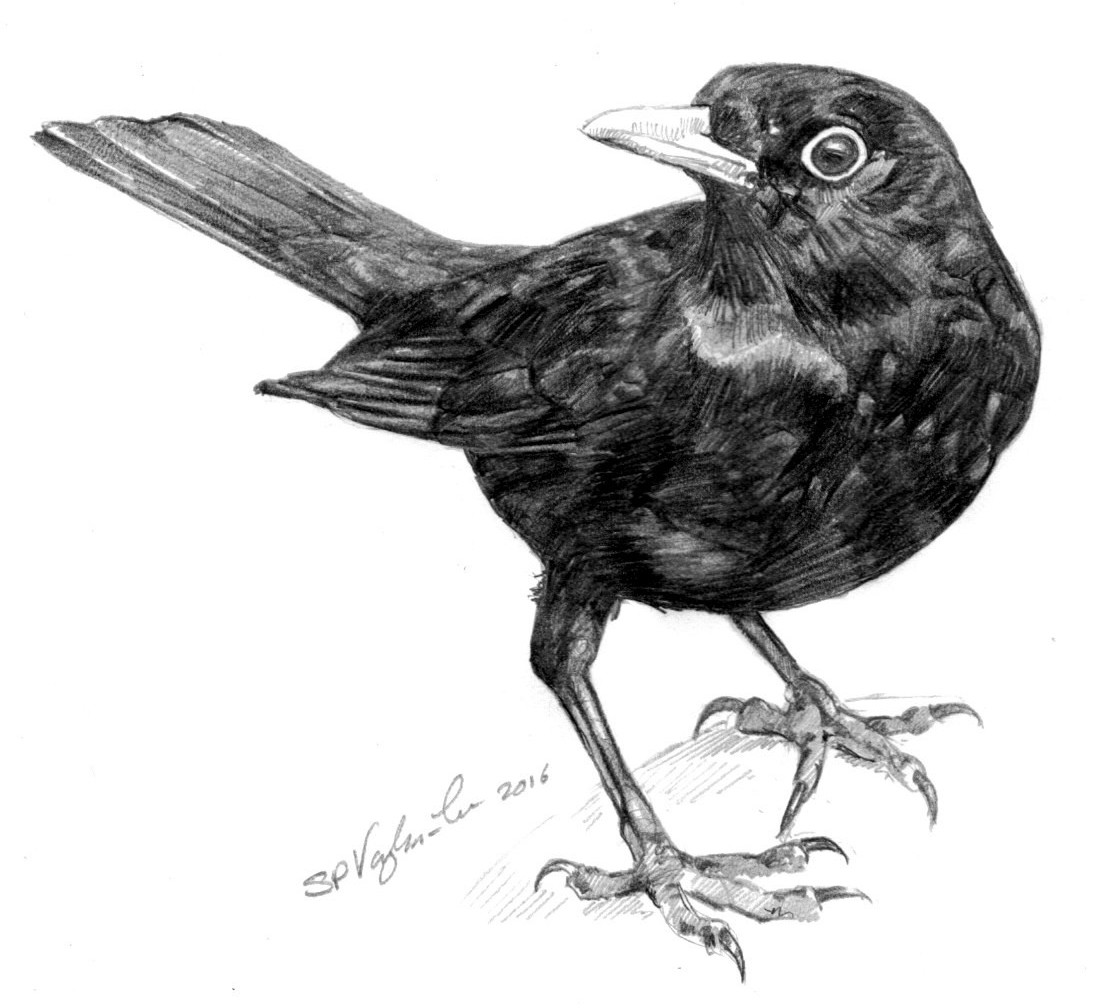 blackbirds drawing - photo #35