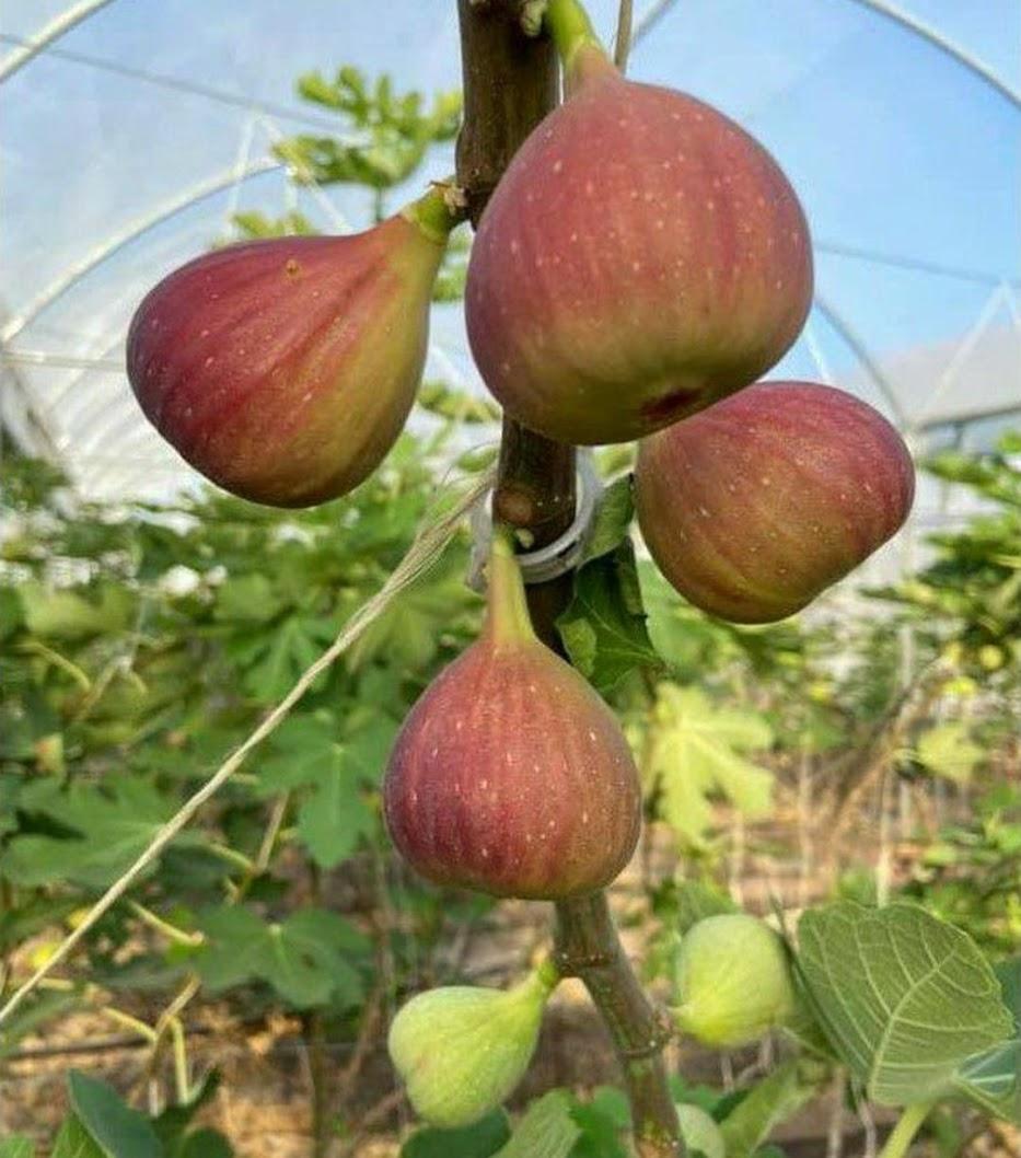 bibit buah tin merah tgf jumbo Tarakan