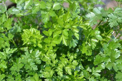 Hierba aromática. Planta de perejil.