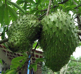 the benefits of soursop fruit