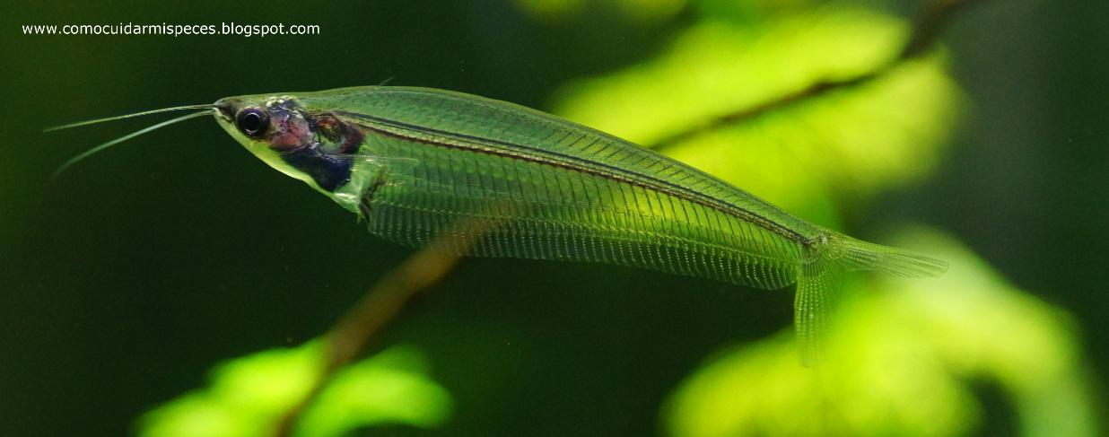 Ficha del pez gato de cristal - Kryptopterus Vitreolus (Kryptopterus ...