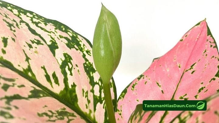 Aglaonema-Lady-Valentine
