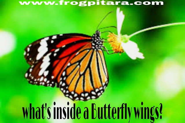 Whats inside a butterfly wings