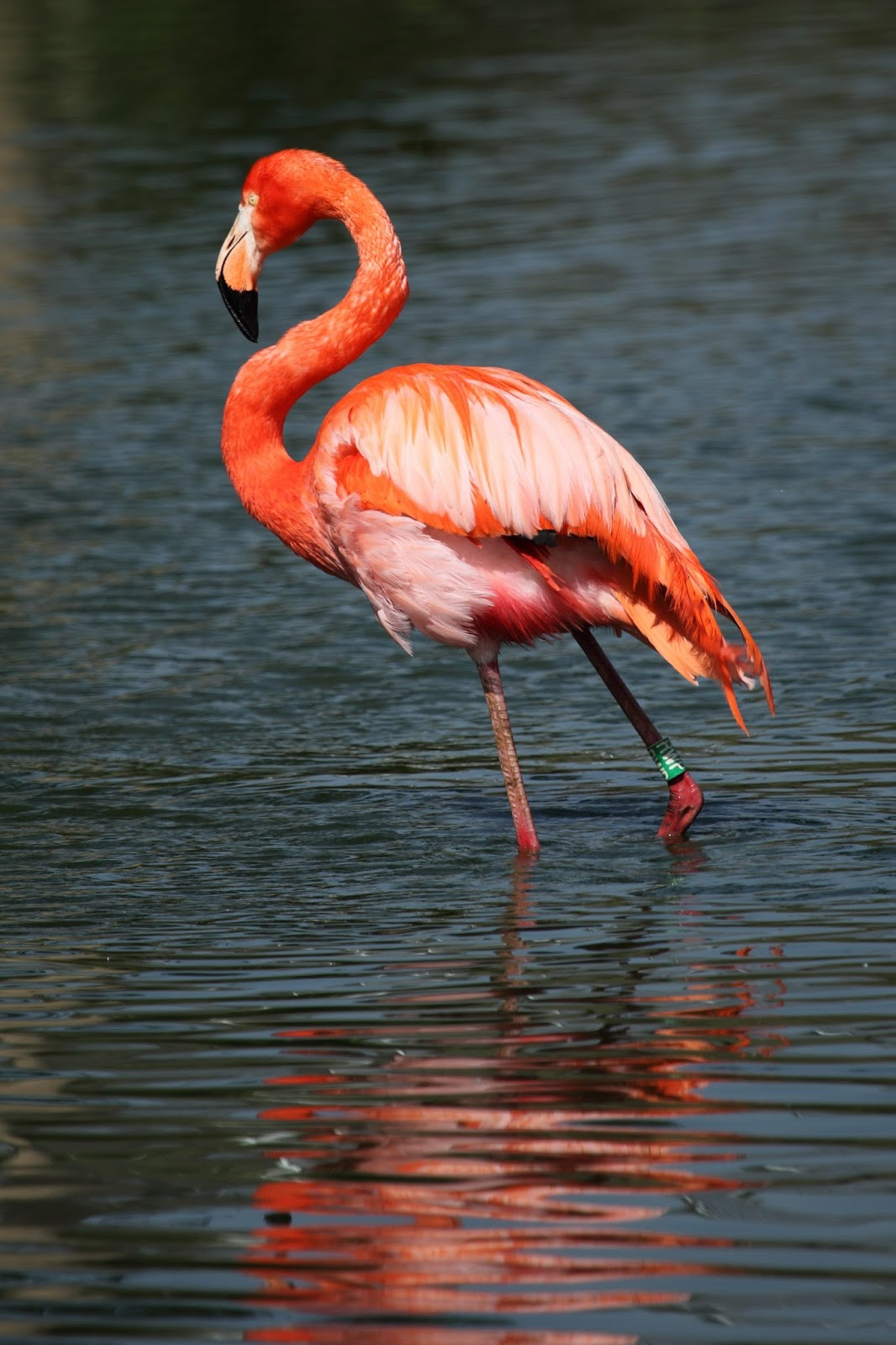 Photo of a beautiful and colorful flamingo
