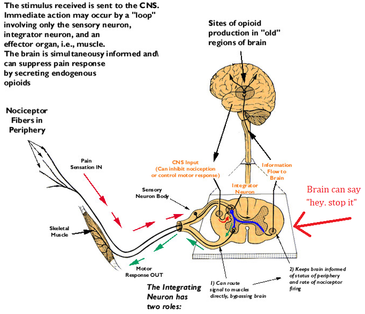 Medical student review spasms reflex arcs and the brain ccuart Choice Image