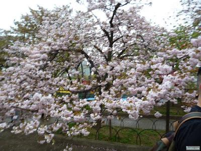 ピンボケ桜