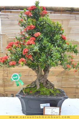 Bonsai Asoka