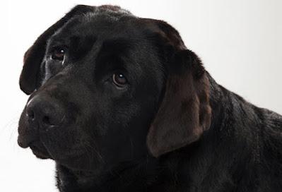 labrador dog breed charcteristics