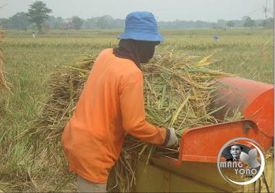 FOTO : Cara perontokan padi dengan power thresher