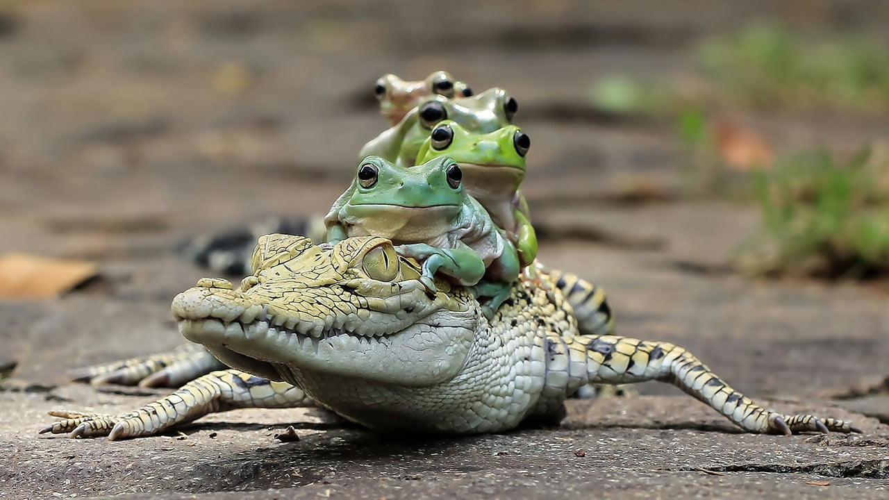 Once-in-a-Lifetime Snap: Five Frogs Riding a Crocodile