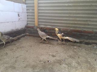 Yellow Pheasant Dewasa