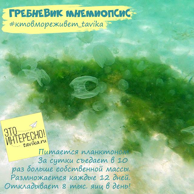 гребневик мнемиопсис в Черном море
