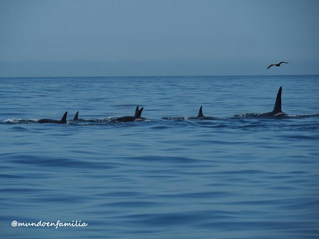 Avistamiento de orcas en Hermanus