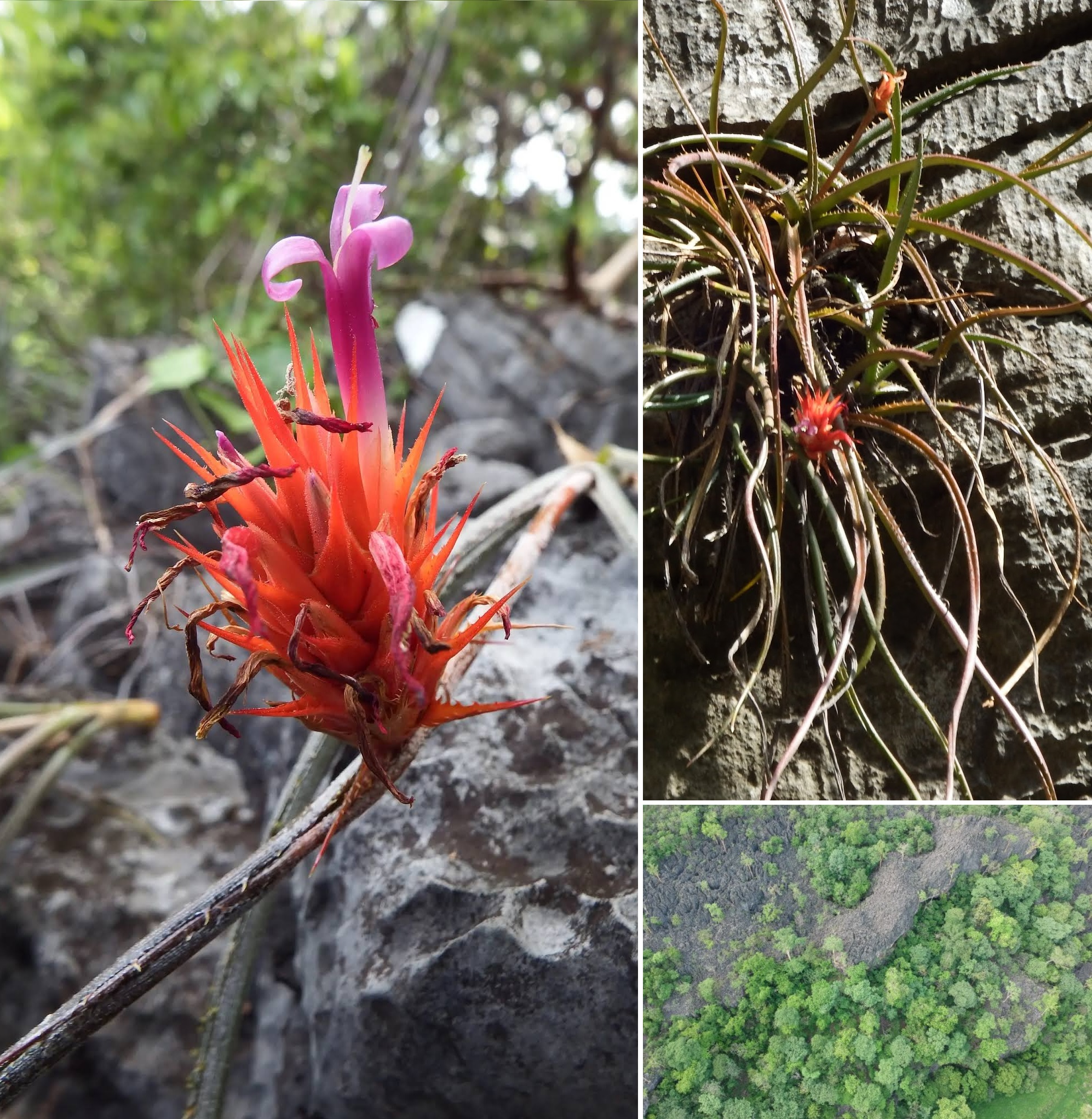 Species New to Science: [Botany • 2020] Acanthostachys calcicola  (Bromeliaceae, Bromelioideae) • A New Species from A Limestone Outcrop in  Tocantins State, Brazil