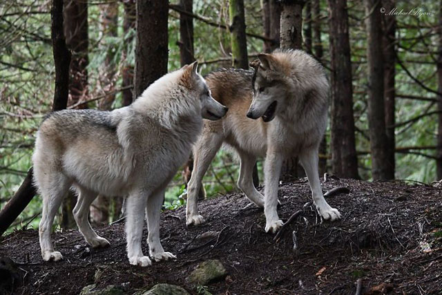 Serigala Lebih Pandai Meniru Dibandingkan Anjing