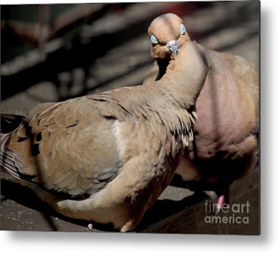 This is a screen shot of a metal print which I'm selling on Fine Art America. It features two very amorous Mourning doves. Info is @ https://fineartamerica.com/featured/cooing-mourning-doves-2-patricia-youngquist.html?product=canvas-print