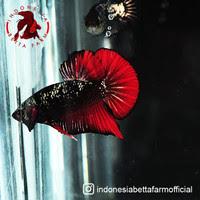 Download Ikan Cupang Avatar Termahal Images