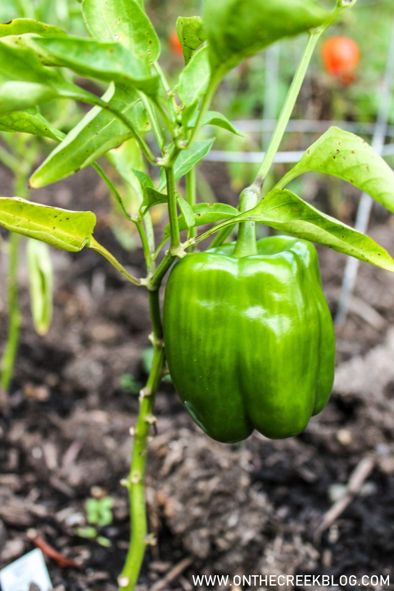 green peppers growing in the garden | On The Creek Blog