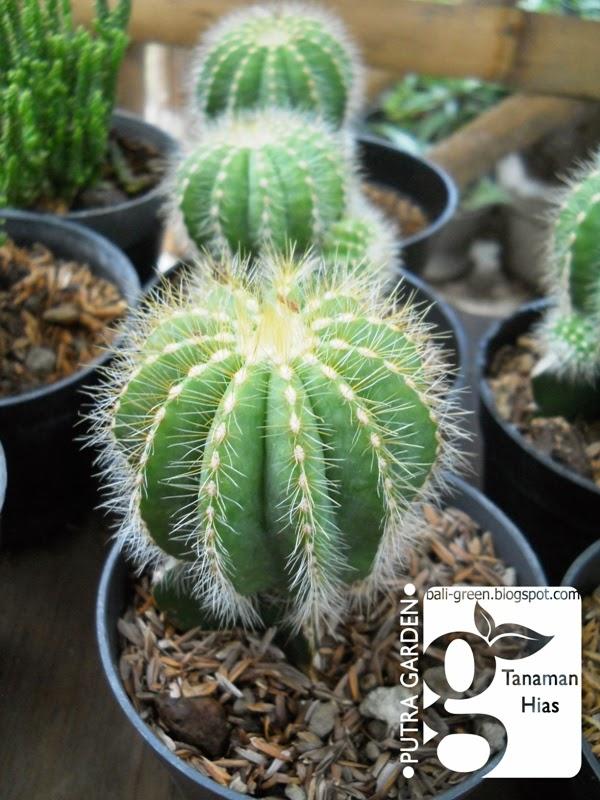 PUTRA GARDEN BALI  Promo Tanaman Hias Kaktus Mini Untuk Souvenir 5ebf94f764