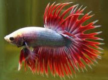 Ikan Cupang Serit Crowntail