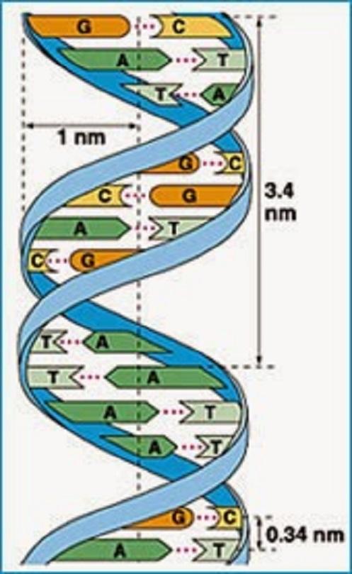 DNA a doppia elica illustrato in un libro del Dr. Francis Crick