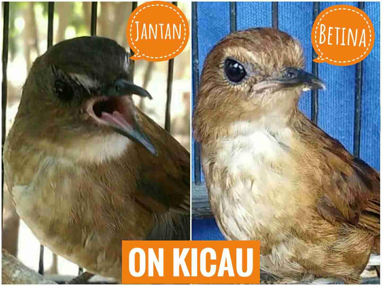 Ciri Ciri Perbedaan Burung Jongkangan Jantan Dan Betina Yang Akurat On Kicau
